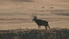 P02439 Mule Deer Buck with Large Antlers on Ridge Stock Footage