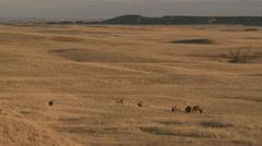P02431 Herd of Mule Deer Including Large Buck in Western North America Stock Footage