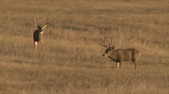 P02432 Pair of Large Mule Deer Bucks with Trophy Antlers Stock Footage