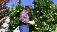 Farmer, orange grove Stock Footage