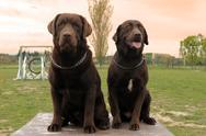 Two labrador retriever Stock Photos