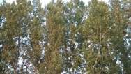 Very Tall Trees Swaying in Wind Stock Footage
