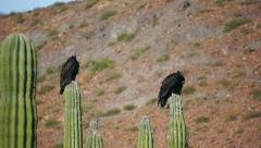 Two Turkey Vultures Cleaning Stock Footage