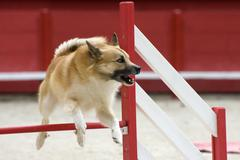 Icelandic sheepdog in agility Stock Photos