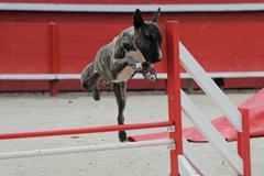 Bull terrier in agility Stock Photos
