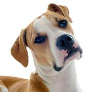 american bulldog - stock photo