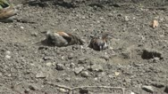 Stock Video Footage of Wet Sparrow Bird Playing, Drying on a Desert Sandy Ground on a Hot Summer Day