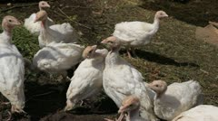 A Group of Young White Turkeys Feeding in a Farm, Free, Eco, Natural, Bio - stock footage