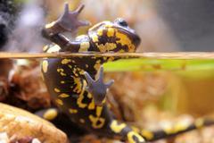 The fire salamander - salamandra Stock Photos