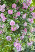rosa banksiae rosea - stock photo
