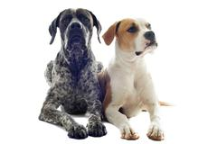 german shorthaired pointer and american bulldog - stock photo