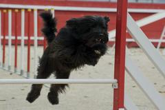 Nizinny in agility Stock Photos