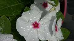 White Flower After Rain Stock Footage