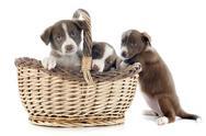 Puppies border collies Stock Photos