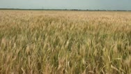 Stock Video Footage of Wheat Waves in Wind