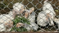 A Group of Young White Turkeys Feeding in a Farm, Free, Eco, Natural, Bio Stock Footage