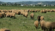 Stock Video Footage of Herd Of Sheep and Lamb Grazing In A Field, A small Group eating grass time lapse