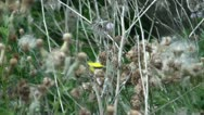 Stock Video Footage of Yellow Finch Bird in Wild