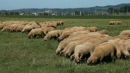 Stock Video Footage of Herd Of Sheep and Lamb Grazing In A Field, A small Group eating grass, Spring
