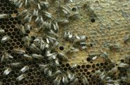 Honeycomb with bees and honey NTSC Stock Footage