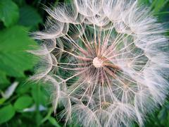 giant dandelion - stock photo