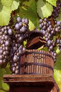 Grape-gathering Stock Photos