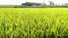 Stock Video Footage of Rice Field Wind - HD