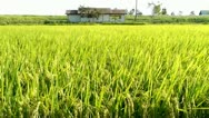 Stock Video Footage of Rice Field Wind - HD