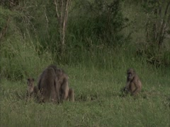 Baboons siting on the grass. Stock Footage