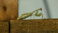 Stock Video Footage of Praying Mantis, 90 mins in 30 seconds