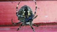 Preadatory Spider Cocooning Prey Stock Footage