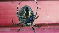 Stock Video Footage of Preadatory Spider Cocooning Prey