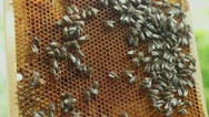 Honeycomb with bees and honey HD Stock Footage