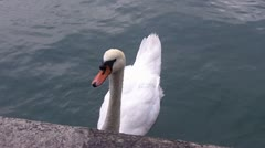 Stock Video Footage of Swan