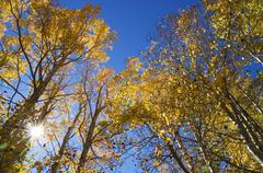 Fall aspen tree tops Stock Photos