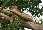 Stock Photo of lion resting in a tree