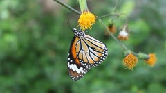 Footage butterfly  Stock Footage
