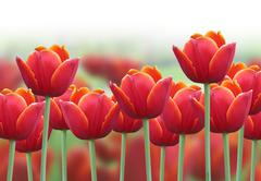 spring tulip flower background - stock photo