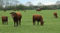 Brown cows and calfs. Stock Footage