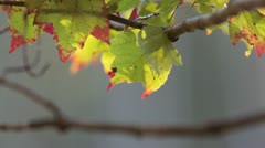 Maple Leaves Fall Stock Footage