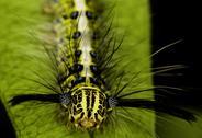 Processionary moth on leaf, Bangkok, Thailand Stock Photos