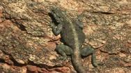 Northern Cape lizard Stock Footage