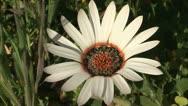 A white gazania flower Stock Footage