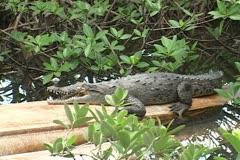 American Crocodile Stock Footage