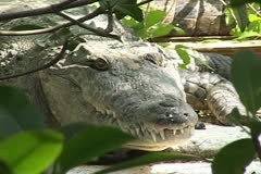 Crocodile Alligators Everglades - stock footage