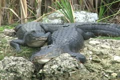 Alligators Everglades - stock footage