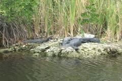 Alligator Everglades Stock Footage