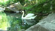 Stock Video Footage of SWAN in POND HD