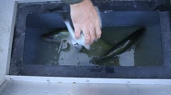 Container with pikeperch Stock Footage