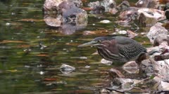 Amid Nature - Little Green Heron Catches a Fish Stock Footage